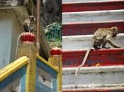 makaki na schodach - Batu Caves