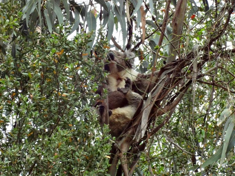 Koala w parku
