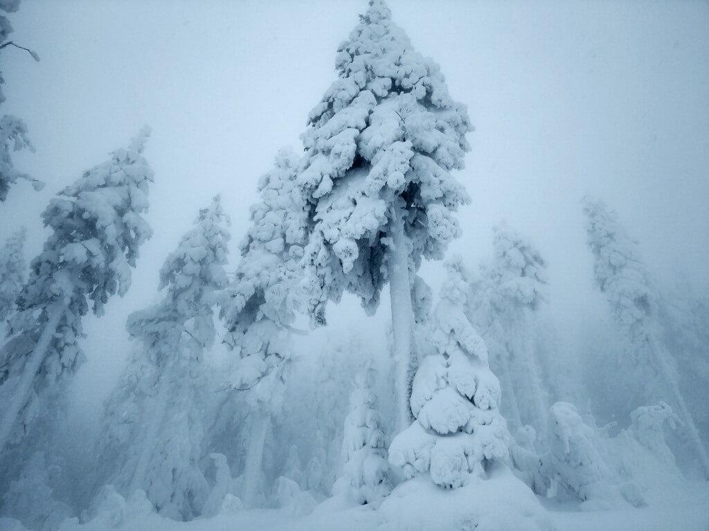 Czarna Góra drzewo